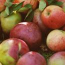 Ziektes en plagen bij Appel