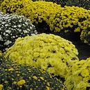 Ziektes en plagen bij Chrysant
