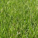 Ziektes en plagen bij Grasvelden