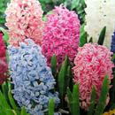 Ziektes en plagen bij Hyacint