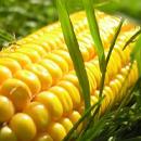 Ziektes en plagen bij Maïs