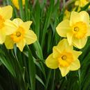 Ziektes en plagen bij Narcis