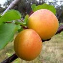 Ziektes en plagen bij Overige fruitsoorten