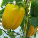 Ziektes en plagen bij Paprika