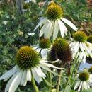 Ziektes en plagen bij Vaste planten